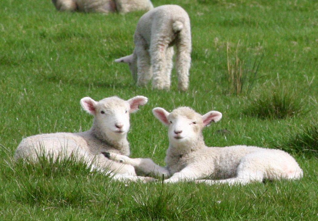 Bárány gyapjú