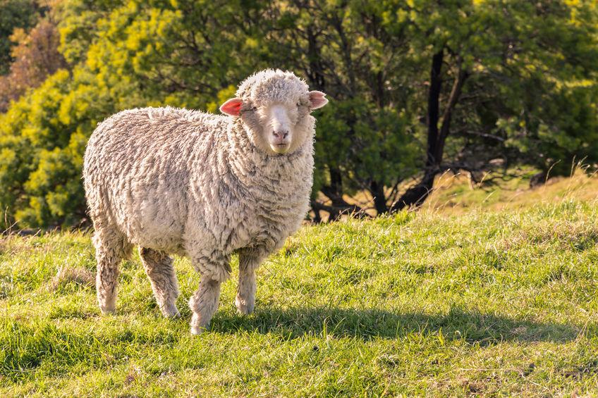 Minden, amit a merinó gyapjú termékekről tudni érdemes